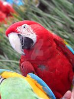 red parrot by Lustuad