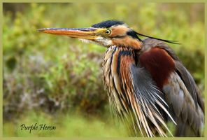 Waiting patiently  - Purple Heron by Jamie-MacArthur