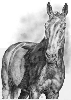 Horse Portrait by CKArtpage