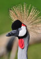 Crowned Crane 6214 by robbobert