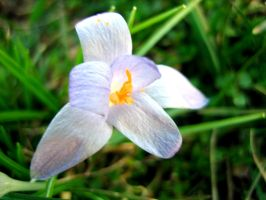 Crocus by Holly6669666