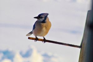 Mr. Blue Jay by sweetz76