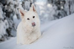 White Swiss Shepherd 2 by softflower