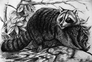 Raccoon by Alena-Koshkar