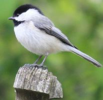 Chickadee by Laur720