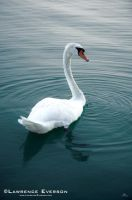 Beautiful Swan by Leverson