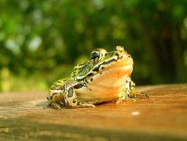 Frog closeup by Zulfara