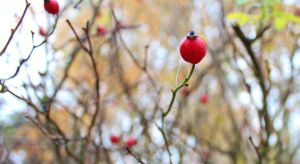 More red berries by KB-Fotografie