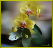 Orchidee 17 by rembrantt