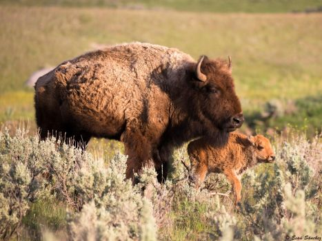 Yellowstone Bisons by deseonocturno