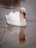 Mute Swan by ChessW24