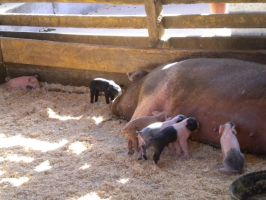 piglets and mom by Tinkerbell0522