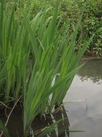 Watery Reeds by simfonic
