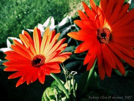 Orange daisies by AubreyObvi