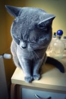 british shorthair 2 by xAlexandrinex