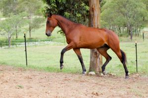64 Trot stretching out Wb c by Chunga-Stock