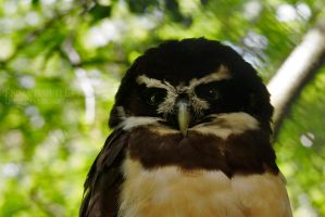 Spectacled Owl by ERB20