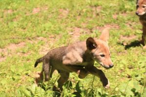 Red Wolf Stock 72: Wolf Pup Jumping by HOTNStock