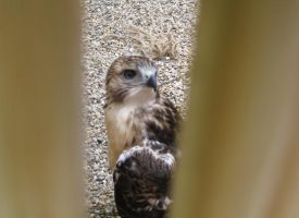 Young Red-Tailed Hawk 6 by Windthin