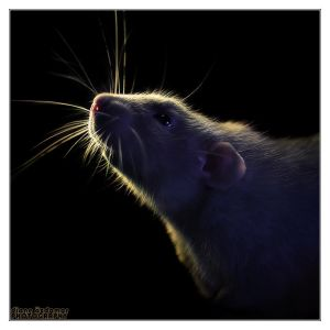 Aegir 13 - Fancy rat