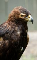 Beauty the golden eagle by Aries18o18