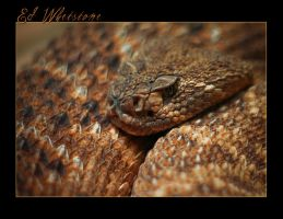 Western Diamondback Rattler by EdtheHobbit