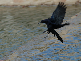 Black Grackle Landing by AquaVixie