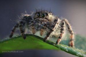 Jumping Spider by mattTIDBALL