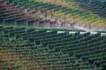 Vineyards by Suppi-lu-liuma