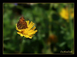 Papillon 1 by Cristinaconte