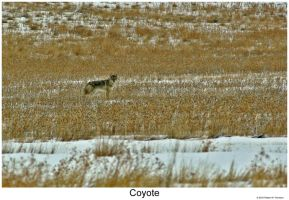 Coyote by hunter1828