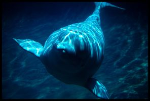 beluga whale 3 by omegach