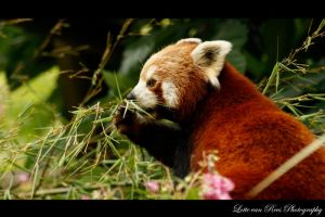 Red Panda by Lottex