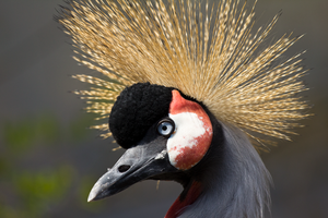 Gray Crowned Crane by TimGrey