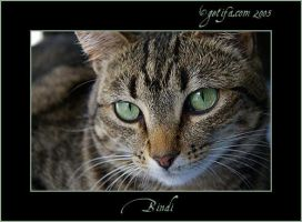 Bindi - Cat Portrait - 2 of 4 by Renilicious