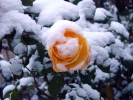 rose in snow3 by myblue-eyes