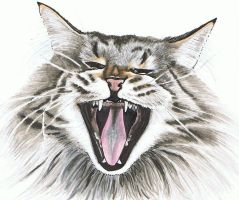 Maine Coon by SylverLeopard