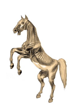 Rearing horse - anatomy for artists II by VisnjaMy