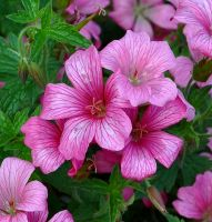 The Prettiest Pinks by Forestina-Fotos