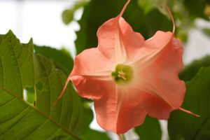 Brugmansia in Pink by froggynaan