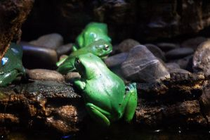 Green Tree Frogs by XMartini23