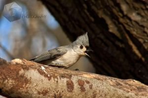Tufted Titmouse by shaguar0508