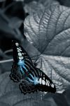 BH: Butterfly XVII by breaking-reality