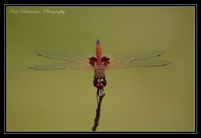 Red Dragonfly by DesignKReations