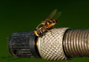 Small Hoverfly by TheFunnySpider
