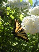 Hello Swallow Tail butterfly by Piercingx