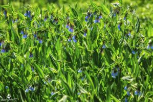 Blue Bells by mjohanson