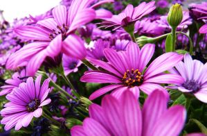 Pink Flowers by MiDulceLocura