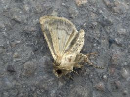 dead moth by whoosh-stock