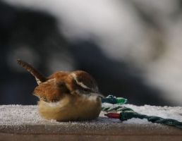 Christmas wren by barcon53